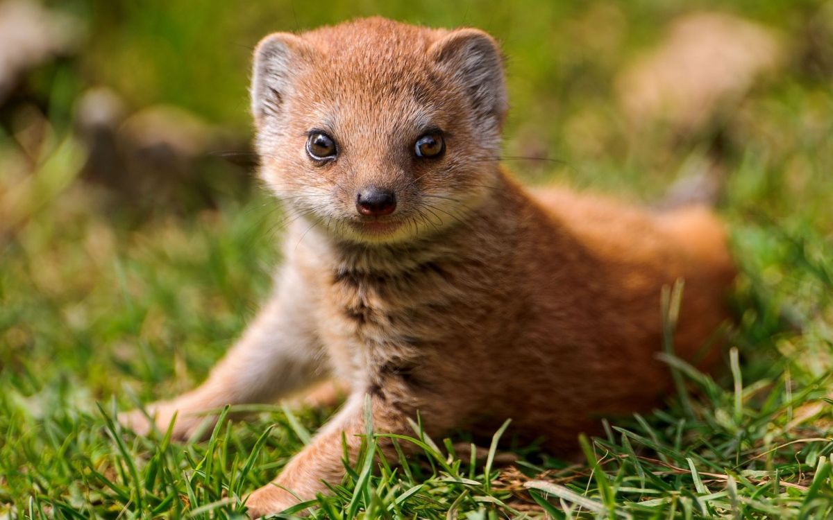 a young mongoose