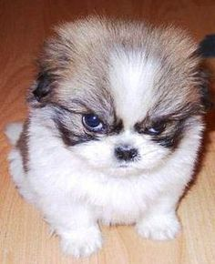 fluffy-angry-puppy